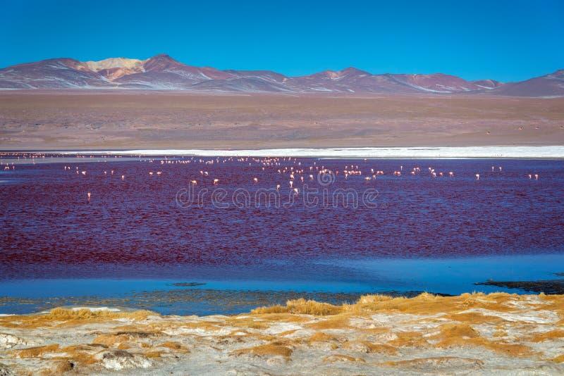 Flamingos em Laguna Colorada, lago de sal colorido na província Potosi de Sur Lipez, Bolívia imagem de stock royalty free