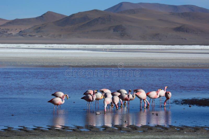 Flamingos em Laguna Colorada Reserva de Eduardo Avaroa Andean Fauna National bolívia fotos de stock