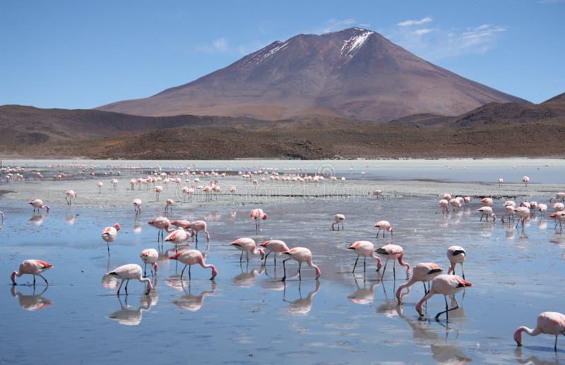 Flamingos em Laguna Hedionda, Bolívia, deserto de Atacama fotografia de stock