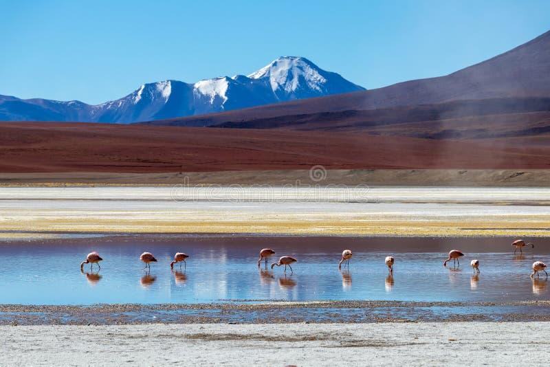 Flamingos em Laguna Hedionda, lagoa situada no boliviano Altiplano perto do plano de sal de Uyuni em Bolívia foto de stock