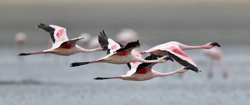 Flamingos em voo Flamingos do voo sobre a água do lago Natron Pouco flamingo Nome científico: imagens de stock