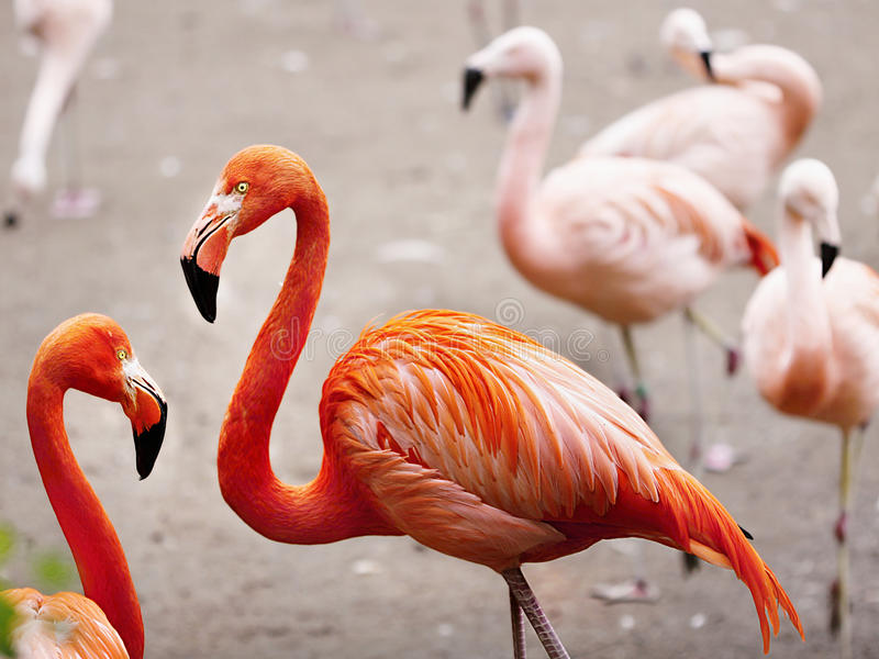 Flamingos. Exotic birds - Chilean flamingos, close up royalty free stock images