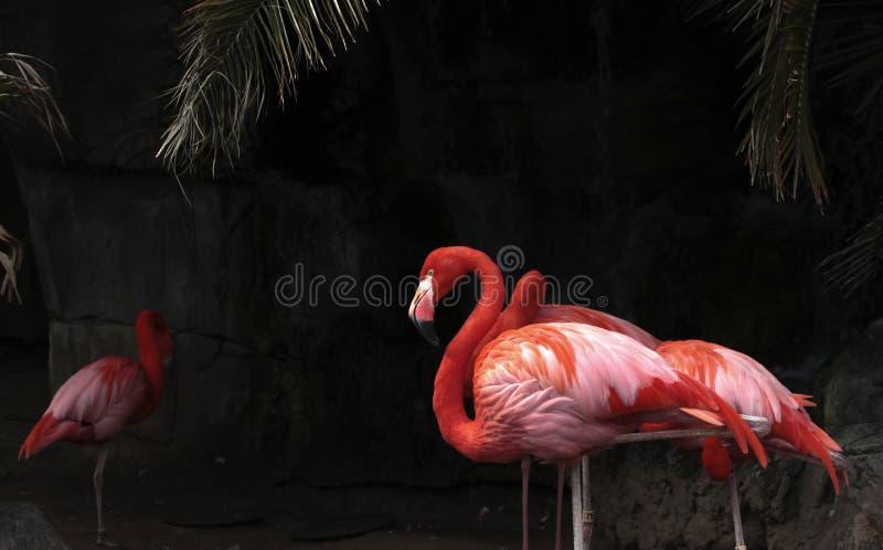 Flamingos. A flock of flamingos grooming royalty free stock photo