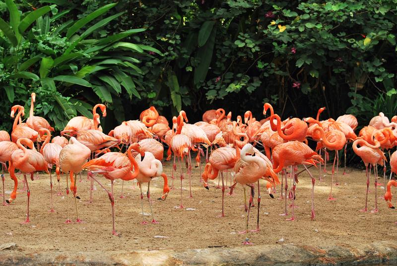 Flamingos. A flock of orange flamingos standing at the edge of a forest clearing royalty free stock photos