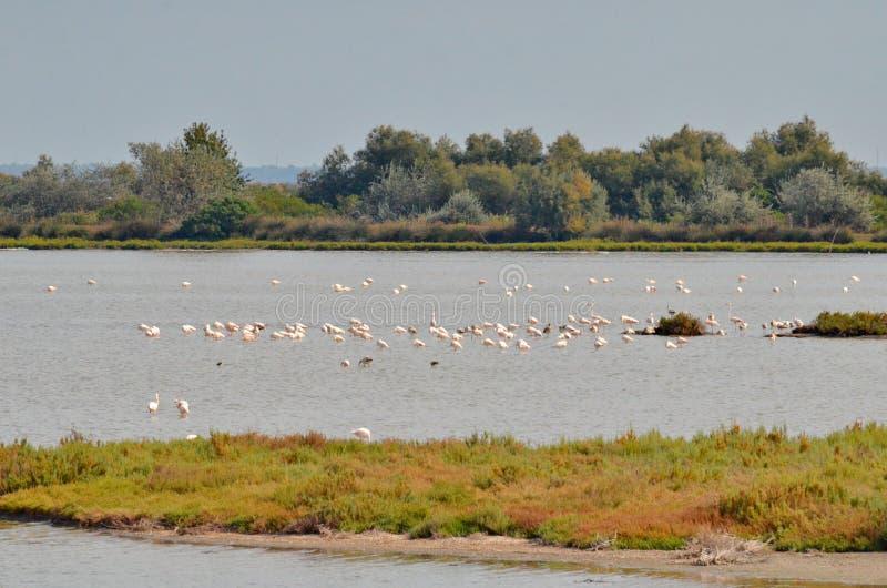 flamingos flockas pink arkivfoto