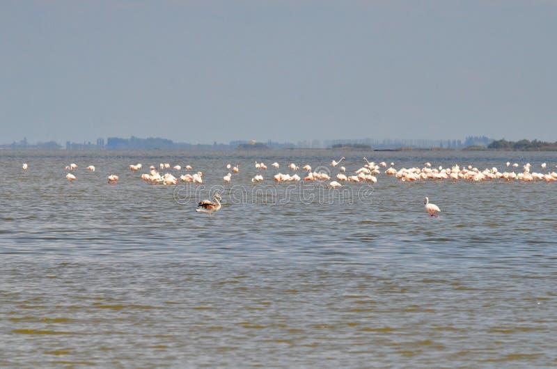 flamingos flockas pink royaltyfria bilder