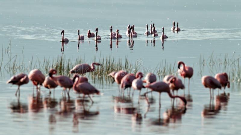 flamingos flockas rosa simningvatten arkivfoto