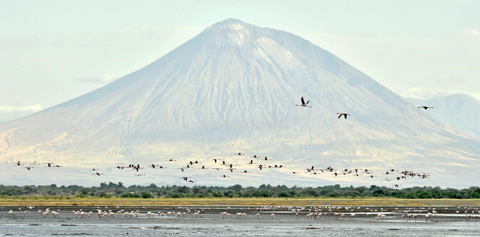Flamingos fly over the lake Natron. Flock of flamingos in flight. Flamingos fly over the lake Natron. Volcano Langai on the background. Lesser flamingo stock images