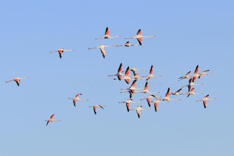 Flamingos flying. In Camargue, France royalty free stock images