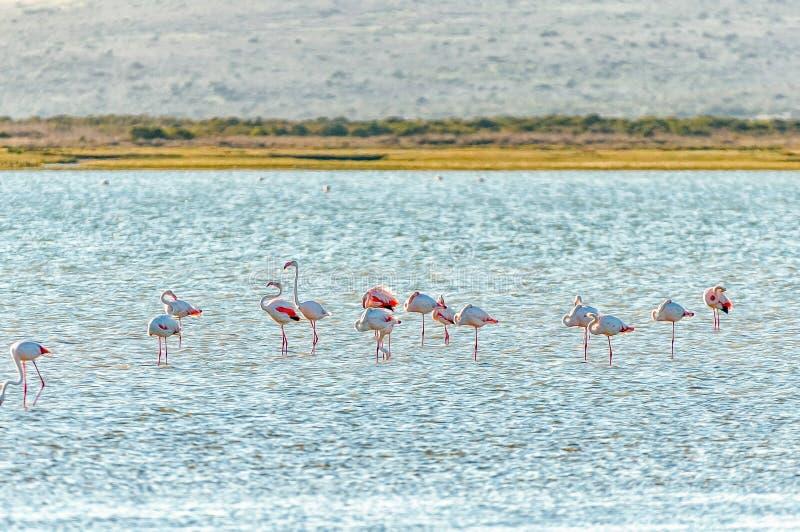 Flamingos am Geelbek-Vogel-Fell auf der Langebaan-Lagune auf der Atlantik-Küste der Westkap-Provinz stockfotos