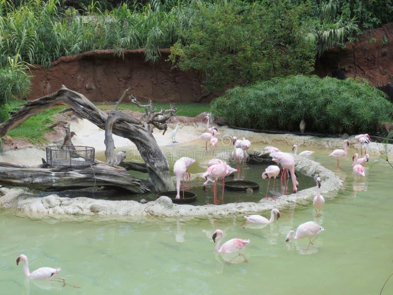 Flamingos at the Honolulu Zoo royalty free stock photography