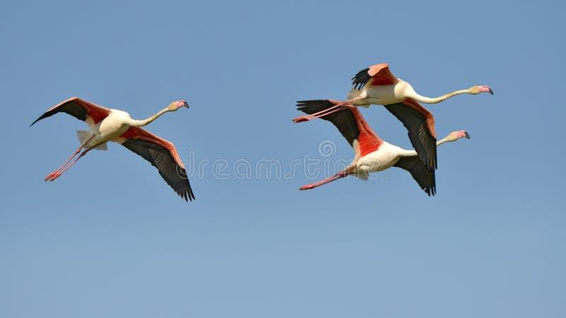 Flamingos im Flug stockbild