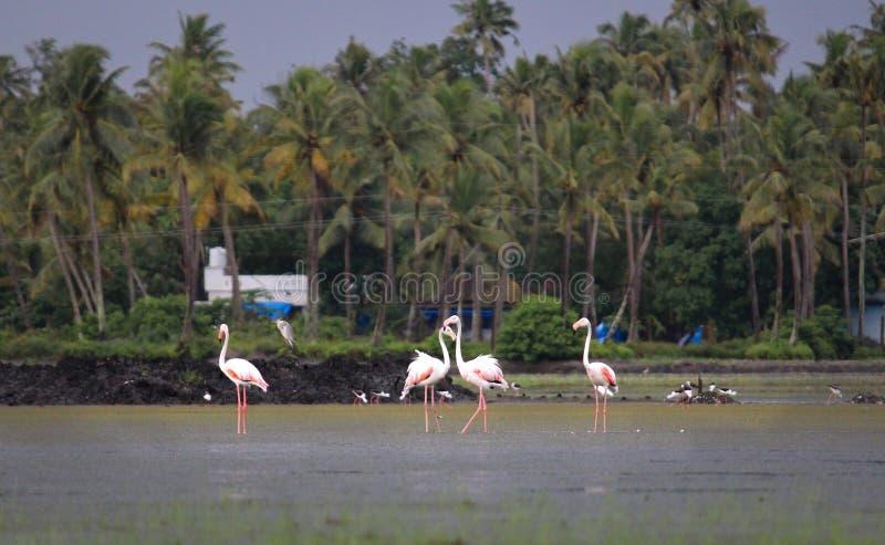 Flamingos in kerala stock photo