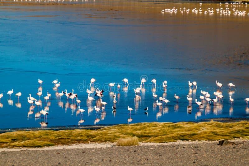 Laguna Collpa lake. Flamingos in Laguna Collpa lake on bolivian Altiplano royalty free stock image