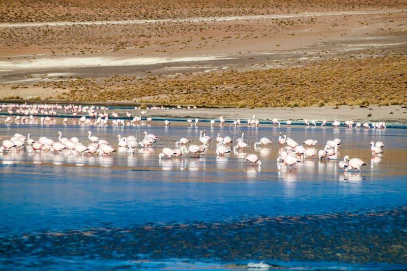 Flamingos in Laguna Collpa lake. In Reserva Nacional de Fauna Andina Eduardo Avaroa protected area, Bolivia royalty free stock photography