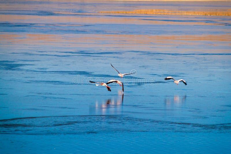 Flamingos in Laguna Collpa lake. In Reserva Nacional de Fauna Andina Eduardo Avaroa protected area, Bolivia stock images