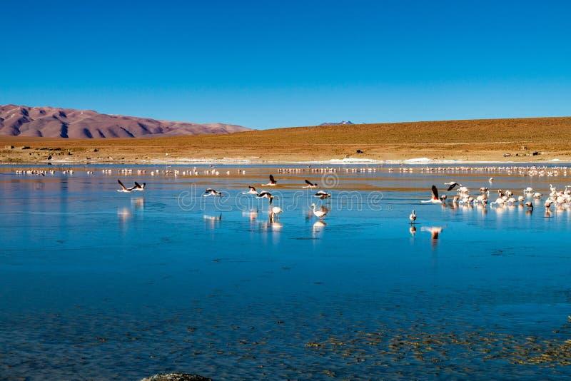 Flamingos in Laguna Collpa lake. Laguna Collpa lake in Reserva Nacional de Fauna Andina Eduardo Avaroa protected area is full of flamingos, Bolivia stock photos