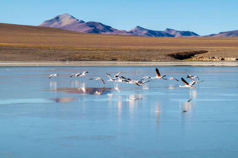 Flamingos in Laguna Collpa lake. Laguna Collpa lake in Reserva Nacional de Fauna Andina Eduardo Avaroa protected area is full of flamingos, Bolivia royalty free stock photography