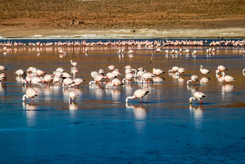 Flamingos in Laguna Collpa lake. Laguna Collpa lake in Reserva Nacional de Fauna Andina Eduardo Avaroa protected area is full of flamingos, Bolivia royalty free stock images