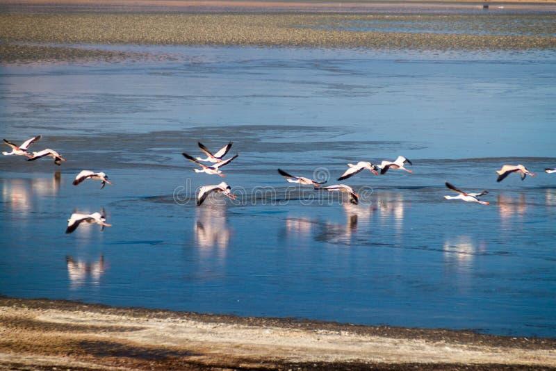 Laguna Collpa lake. Flamingos in Laguna Collpa lake in Reserva Nacional de Fauna Andina Eduardo Avaroa protected area, Bolivia royalty free stock image