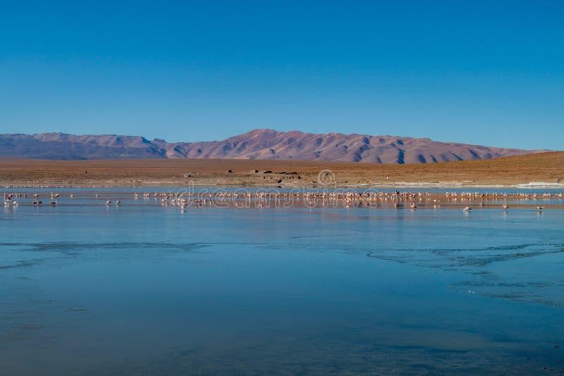 Flamingos in Laguna Collpa lake in Reserva Nacional de Fauna Andina Eduardo Avaroa protected area, Boliv. Ia royalty free stock images