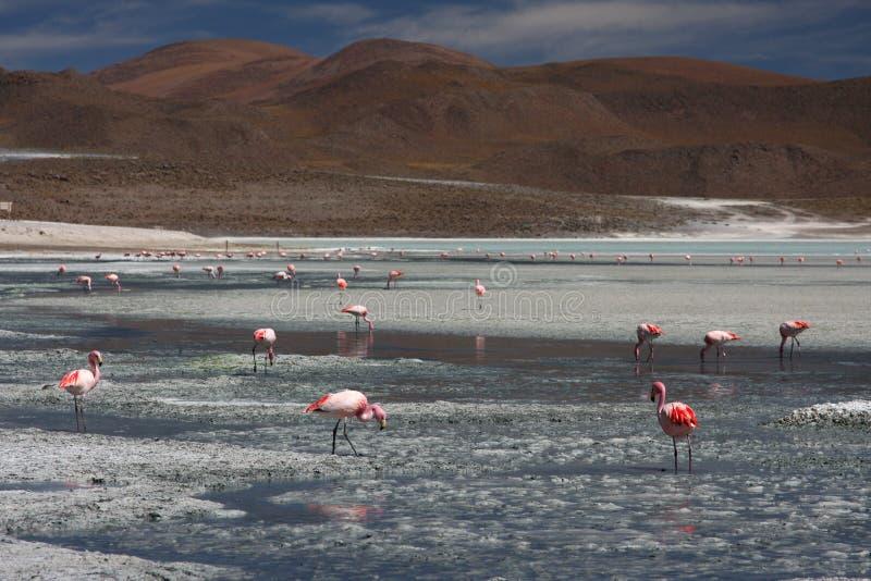 Download Flamingos On Laguna Hedionda Stock Photo - Image: 10901554
