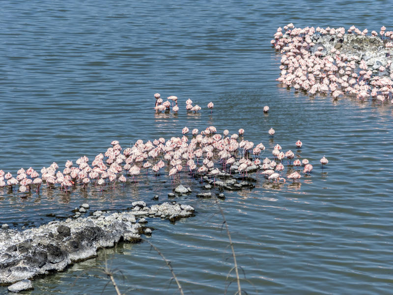 Flamingos in the lake African Safari Tanzania. Flamingos in the lake in the Arusha national park in Tanzania Africa stock photos
