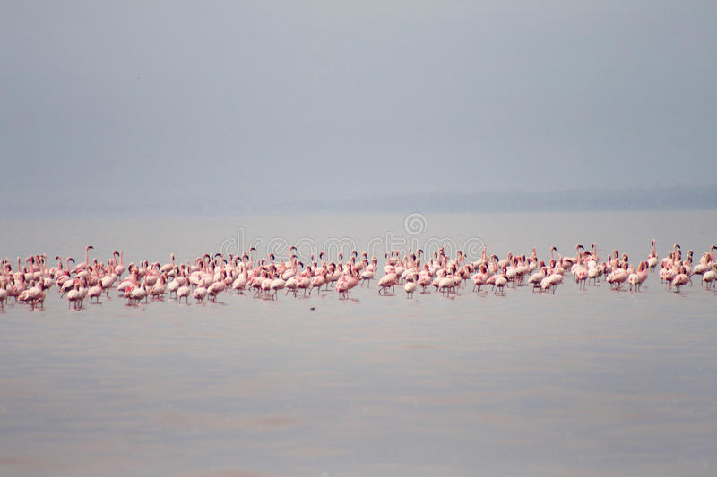 The flamingos on the Lake Eyasi (Tanzania). Lake Eyasi is a seasonal shallow endorheic salt lake on the floor of the Great Rift Valley at the base of the stock photos