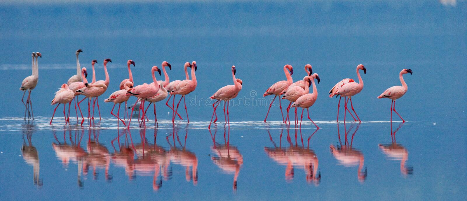 Flamingos on the lake with reflection. Kenya. Africa. Nakuru National Park. Lake Bogoria National Reserve. An excellent illustration royalty free stock image