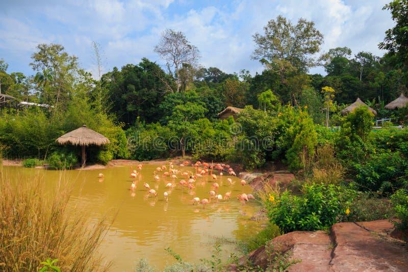 Flamingos on the lake  In safari park, Phu Quoc island, Vietnam. Flamingos lakein safari park phu quoc island vietnam stock image