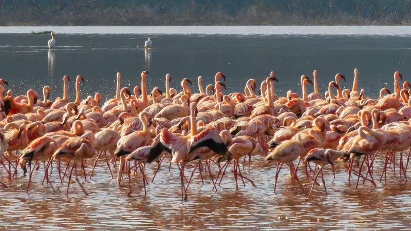 Flamingos marching in unison at lake bogoria royalty free stock photography