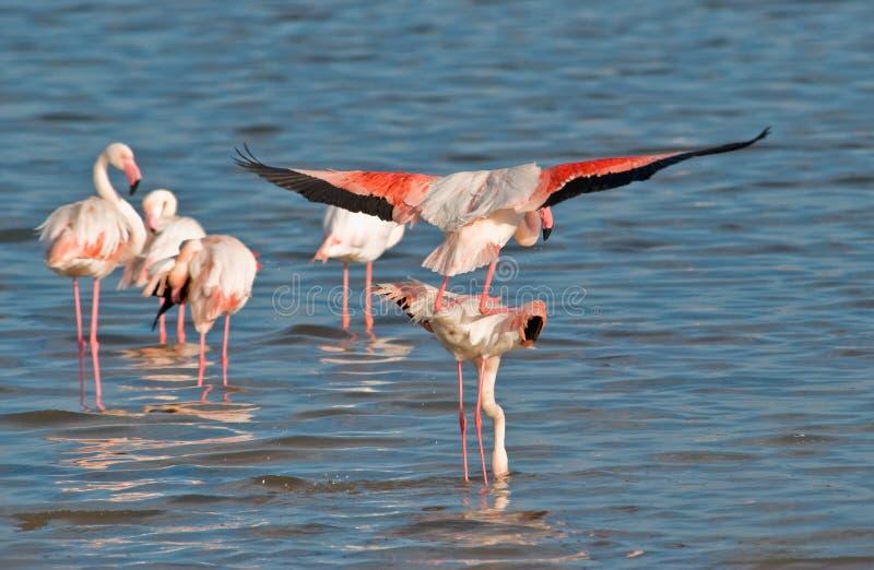 Flamingos mating stock photography