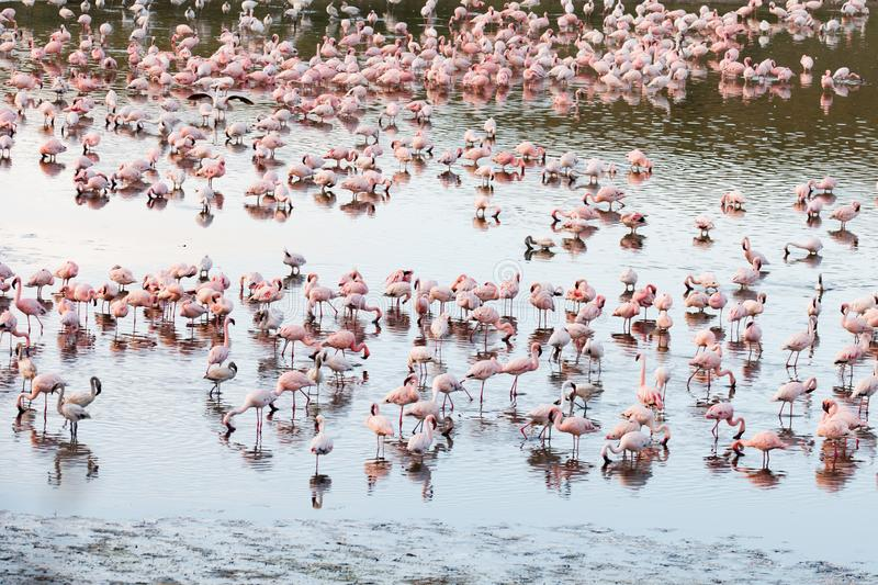 Flamingos in Momela Lake, Arusha National Park, Tanzania royalty free stock images