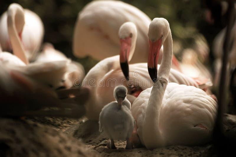 Flamingos Mother& x27; relacionamento de s ao flamingo recém-nascido do bebê perto fotografia de stock