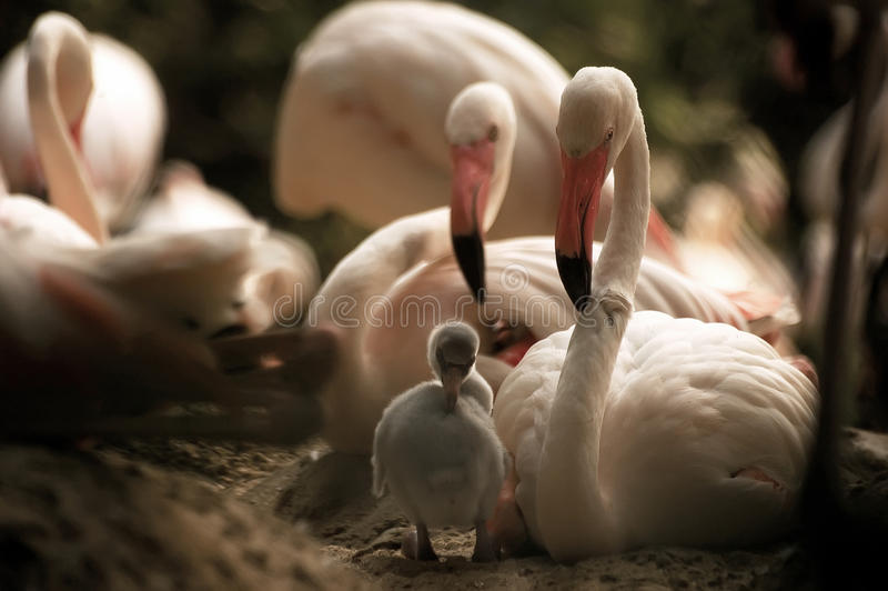 Flamingos Mother& x27;s relationship to the new born baby flamingo by stock photography