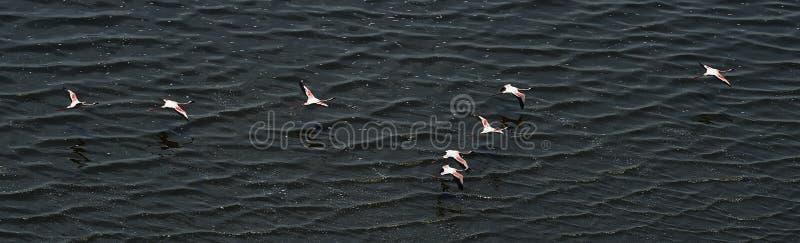 Flamingos na água perto da costa do lago Natron Silhueta do homem de negócio Cowering tanzânia fotografia de stock