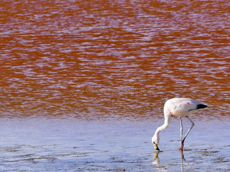 Flamingos na lagoa vermelha de Laguna Colorada, reserva de Eduardo Avaroa Andean Fauna National imagem de stock royalty free