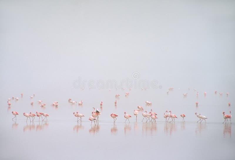 Flamingos na névoa em Laguna Colorada, Bolívia