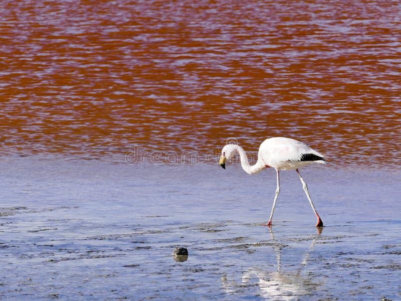 Flamingos na reserva vermelha de Eduardo Avaroa Andean Fauna National da lagoa de Laguna Colorada imagens de stock royalty free