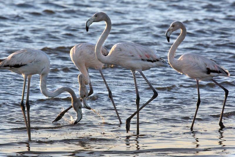 Flamingos - Namibia. Flamingos in Sandwich Bay in Namibia stock images