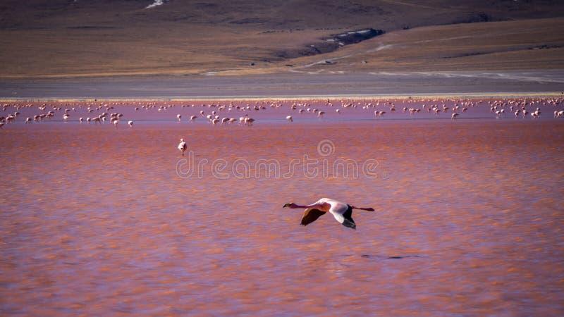 Flamingos no colorada vermelho de laguna da lagoa no parque nacional do abaroa em Bolívia imagem de stock royalty free