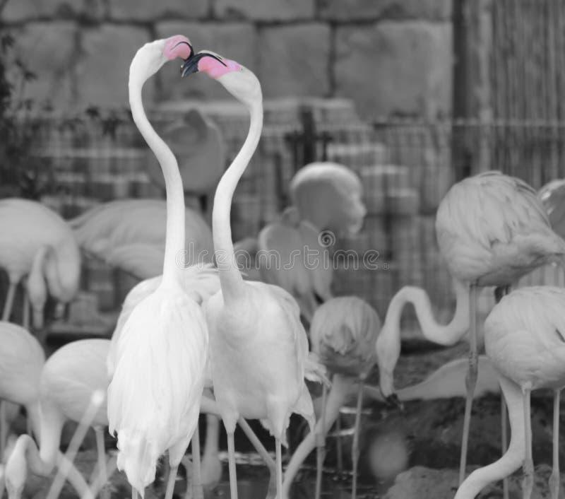Flamingos no jardim zoológico imagem de stock