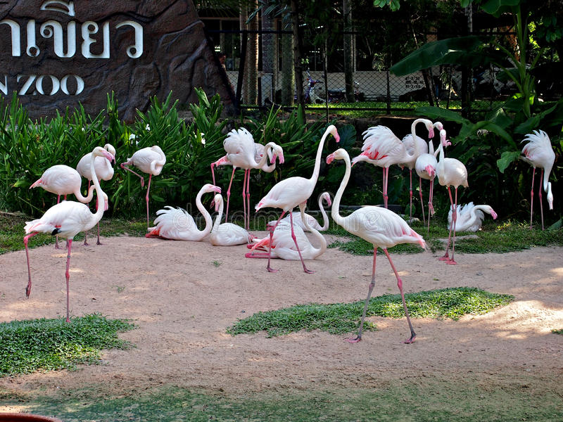 Flamingos no jardim zoológico de Pattaya, Tailândia fotos de stock royalty free