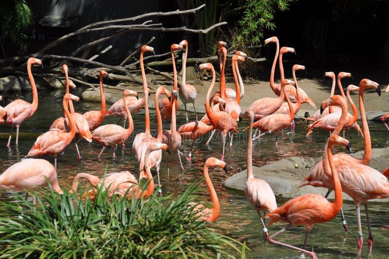 Flamingos no jardim zoológico de San Diego fotografia de stock royalty free