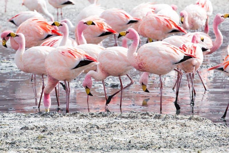 Flamingos no lago em Andes, a parte do sul de Bolívia imagem de stock royalty free