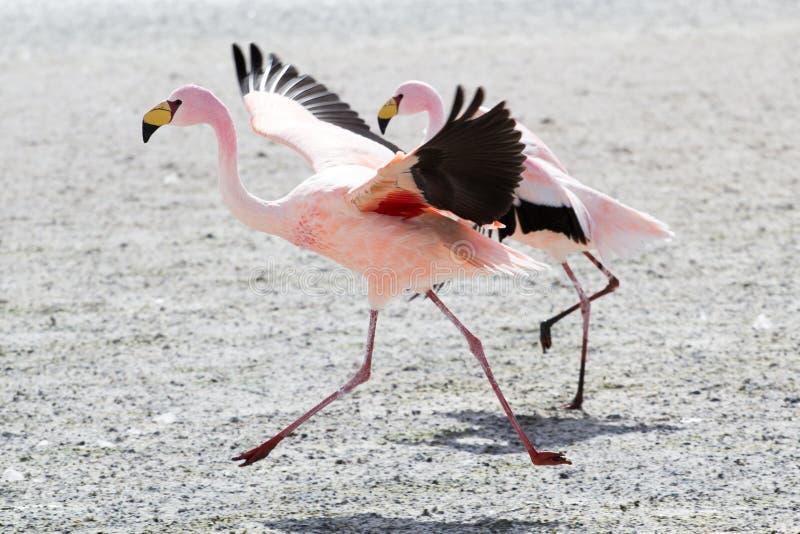 Flamingos no lago em Andes, a parte do sul de Bolívia fotografia de stock royalty free