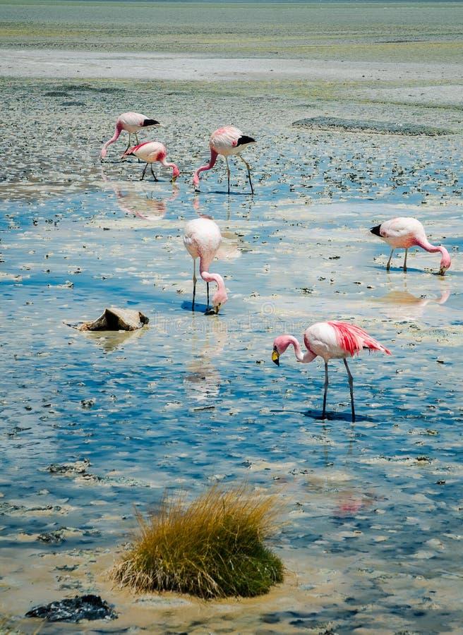 Flamingos no lago fotografia de stock