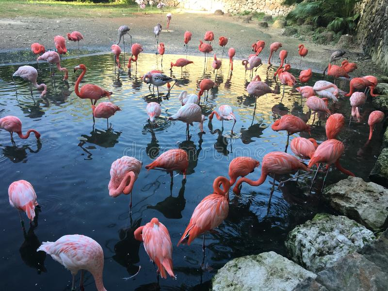 Flamingos no parque da água do xcaret imagens de stock