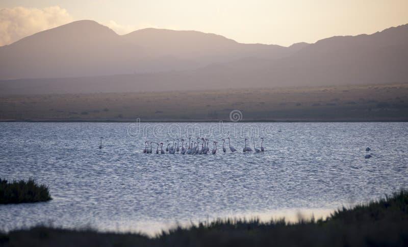 Flamingos, no parque natural de Cabo de Gata, Salinas de Las foto de stock royalty free