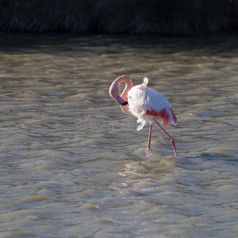 Flamingos no parque ornitológico da ponte de Gau perto da lagoa de Gines com Saintes Maries do mar em Camargue em Bou foto de stock royalty free